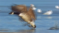 Canada Goose bird Stock Footage