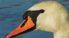 Mute Swan close up Stock Footage