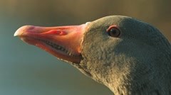 Greylag Goose close-up Stock Footage