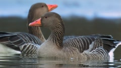 Greylag Goose Stock Footage