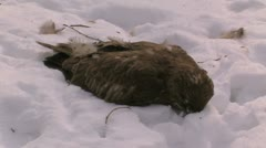 Dead owl. Stock Footage