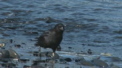 Crow Hunting for Food on Shore 1 - stock footage