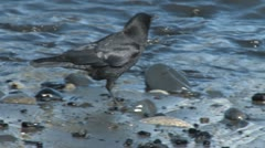 Crow Hunting for Food on Shore 2 Stock Footage