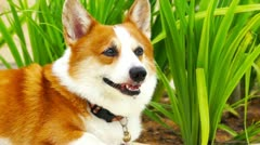 Pembroke Welsh Corgi - stock footage