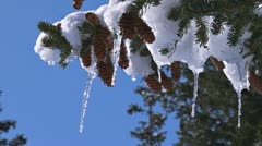 Icicles in Spruce Branch Tips Stock Footage
