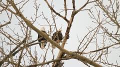 Bald Head eagles in poplar Stock Footage