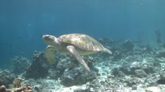 Green Sea Turtle roaming the coral triangle - stock footage