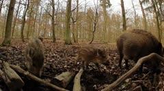 Wild Boar Stock Footage