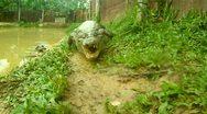 Crocodile Attack Stock Footage