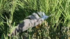 Blue Heron Feather (1080) Stock Footage