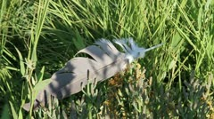Blue Heron Feather (720) Stock Footage