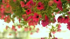 Pendulous flowers Stock Footage