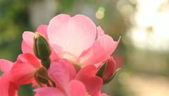Roses - stock footage