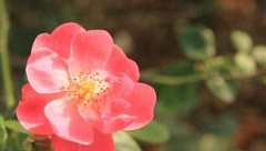 Stock Video Footage of Roses