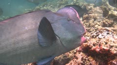 School Humphead Parrotfish swimming in clear shallow water Stock Footage