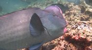 Stock Video Footage of School Humphead Parrotfish swimming in clear shallow water