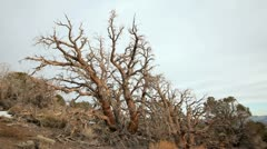 ANCIENT BRISTLECONE TREE 4 Stock Footage