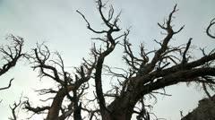 ANCIENT BRISTLECONE TREE Stock Footage