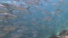 Large school of Jackfish in clear shallow water - stock footage
