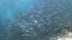 Large school of Jackfish in clear shallow water Stock Footage