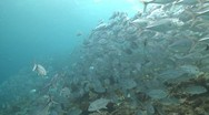 Stock Video Footage of Large school of Jackfish in clear shallow water