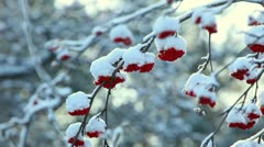 Snowy ashberry. Stock Footage