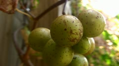 Muscadine Grapes 01 - stock footage