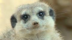 Stock Video Footage of Meerkat Suricate