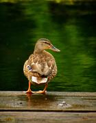 Stock Photo of Duck on dock