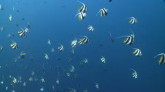 Large school of Schooling Bannerfish in clear deep blue water Stock Footage