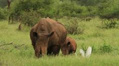 Rhino Mom and Baby Together GFHD Stock Footage