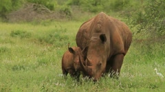 Rhino Baby Eating Grass Close to Mum GFHD Stock Footage