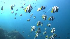 Large school of Schooling Bannerfish in clear deep water - stock footage