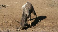 Nyala antelope Stock Footage