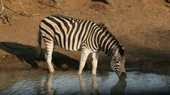 Plains Zebra drinking Stock Footage