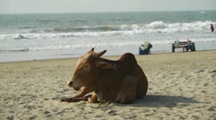 Cow on the beach Stock Footage