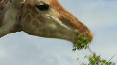 Giraffe CU eating GFHD Stock Footage