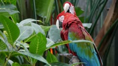 Macaw Parrots Stock Footage
