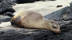 Fur seal rookery. Galapagos Stock Footage