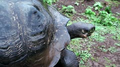 Stock Video Footage of giant tortoise. Galapagos