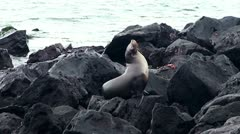 fur seal rookery. Galapagos - stock footage