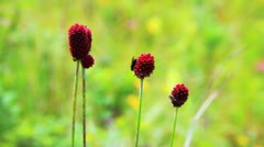 Close-up of burnet flowers Stock Footage