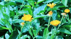 Close-up of calendula flowers Stock Footage