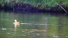 Duck float on the river surface Stock Footage