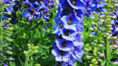 Close-up of Delphinium flowers Stock Footage