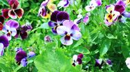 Pansy flowers Stock Footage