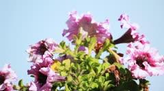 Petunia flowers - stock footage