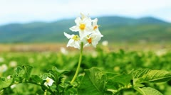 Potato flower on the field close-up Stock Footage