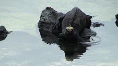 Marine iguana Stock Footage