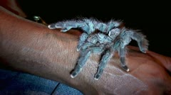 Pet Tarantula Stock Footage